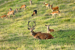 Deer whitetail and herd on a meadow Stock Images