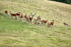 Deer whitetail and herd on a meadow Stock Photos