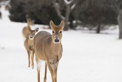 Deer Whitetail Winter. Doe and two yearlings headed out of bedding area to search for browse Royalty Free Stock Photography