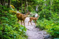 Deer widely roaming around at Glacier National Park royalty free stock photography
