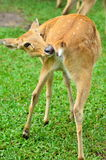 Deer. Width is cleaning itself in the zoo Royalty Free Stock Photo