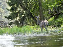 Deer in the Wigry National Park on the Czarna Hańcza River Royalty Free Stock Photography