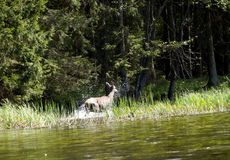 Deer in the Wigry National Park on the Czarna Hańcza River Stock Photos