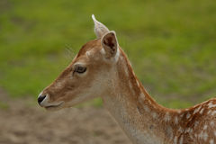 Deer in wild. Wild deer in the nature Stock Photography