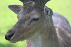 Deer in the wild Royalty Free Stock Photos