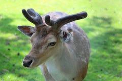 Deer in the wild Stock Photos