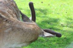 Deer in the wild Stock Image