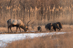 Deer and wild boar Stock Image