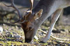 Deer in the wild Royalty Free Stock Photography
