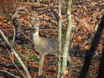 Deer. A wild deer in the forest Royalty Free Stock Photo