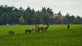 Deer. Wild deer on a green meadow Royalty Free Stock Photography