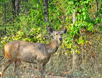 Deer in the wild. Image of Sambhar deer in the forest of India Royalty Free Stock Images
