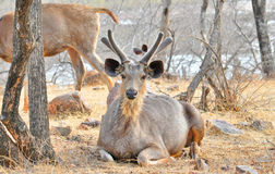 Deer in the wild. Image of Sambhar deer in the forest of India Stock Photo