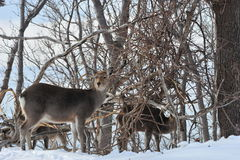 Deer in the wild location in northern Japan. Stock Photos