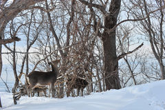 Deer in the wild location in northern Japan. Royalty Free Stock Photography