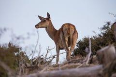 Deer. Wild deer on the mountain Stock Photo
