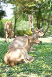 Deer in wild nature Royalty Free Stock Images