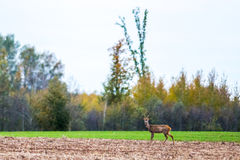 Deer in wild nature Royalty Free Stock Photos