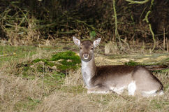 A deer in the wild Royalty Free Stock Photos