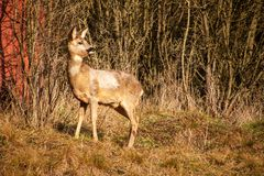 Deer in wildlife. Deer in the bushes. Wildlife in the Czech Republic. Deer in wildlife. Deer in the bushes. Wildlife in the Czech Republic Royalty Free Stock Photo