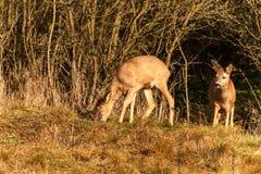 Deer in wildlife. Deer in the bushes. Wildlife in the Czech Republic. stock photos