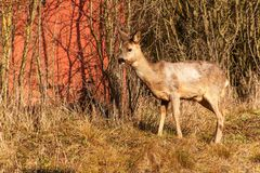 Deer in wildlife. Deer in the bushes. Wildlife in the Czech Republic. Deer in wildlife. Deer in the bushes. Wildlife in the Czech Republic Royalty Free Stock Images