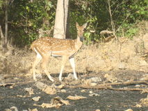 Deer. Wildlife of the gir forest Royalty Free Stock Photos