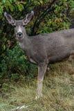 Deer Wildlife in Garden of the Gods Colorado royalty free stock photos