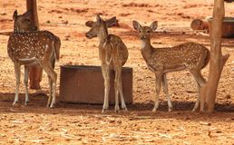 Deer in wildlife sanctuary royalty free stock photography