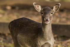 Deer. Wildpark Forest Bayern Germany Royalty Free Stock Photos