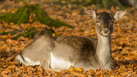 Deer. Wildpark Forest Bayern Germany Stock Photos
