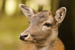 Deer. In wildpark Forest Bayern Germany Stock Image