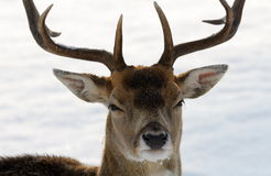 Deer in winter royalty free stock photo