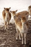 Deer in the winter Royalty Free Stock Photography