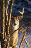 Deer in Winter. Male white-tail deer looking at camera in morning light Royalty Free Stock Photography