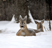 Deer in winter Royalty Free Stock Images