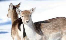 Deer during winter. Two deers in nature during winter Royalty Free Stock Images