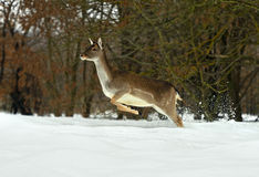 Deer in winter Royalty Free Stock Image
