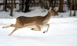Deer in winter Royalty Free Stock Photos