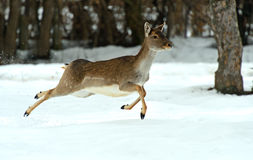Deer in winter Stock Photo