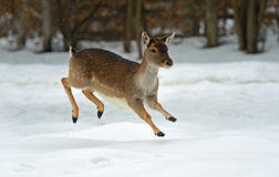Deer in winter Royalty Free Stock Photography