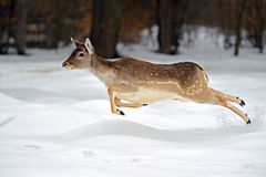 Deer in winter Stock Photos