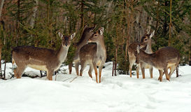 Deer in winter Stock Images