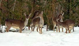 Deer in winter Stock Images