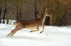 Deer in winter Stock Image