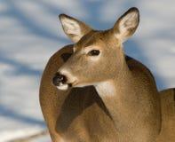 Deer in Winter. Deer stands in the snow in Winter Stock Photography