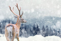 Deer on winter background. Big male deer on winter mountain backgroundwith snowfalls royalty free stock image