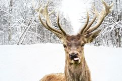 Deer  on a winter country road Royalty Free Stock Photos