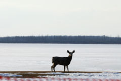 Deer in winter elk island national park Royalty Free Stock Image
