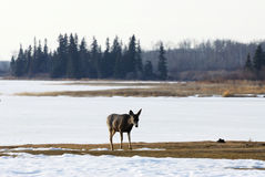 Deer in winter elk island national park Royalty Free Stock Photos
